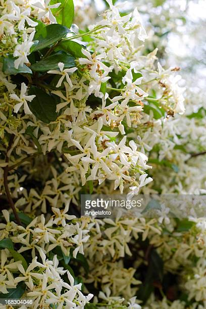 close up of star jasmine plant - jasmine flower stock pictures, royalty-free photos & images