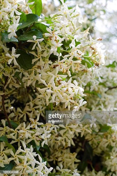 Trachelospermum Jasminoides étoiles de jasmin.