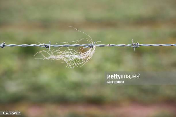 close up of strand of animal hairs in a barbed wire fence on a farm. - barbed wire stock pictures, royalty-free photos & images
