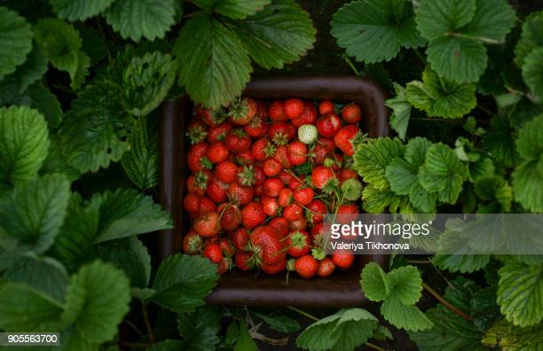 close up of strawberries in basket - strawberry stock pictures, royalty-free photos & images