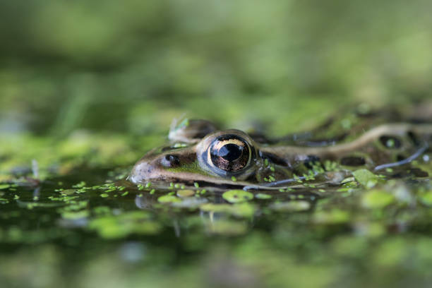 Close up of submerged frog, Rosemere, Canada