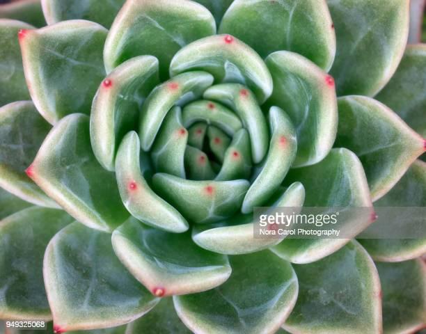 Close up of Succulent Flower Patterns