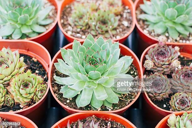 Close up of succulent plants in pots
