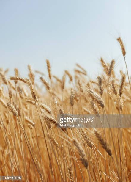 close up of summer wheat field, whitman county, palouse, washington, usa. - wheat stock pictures, royalty-free photos & images