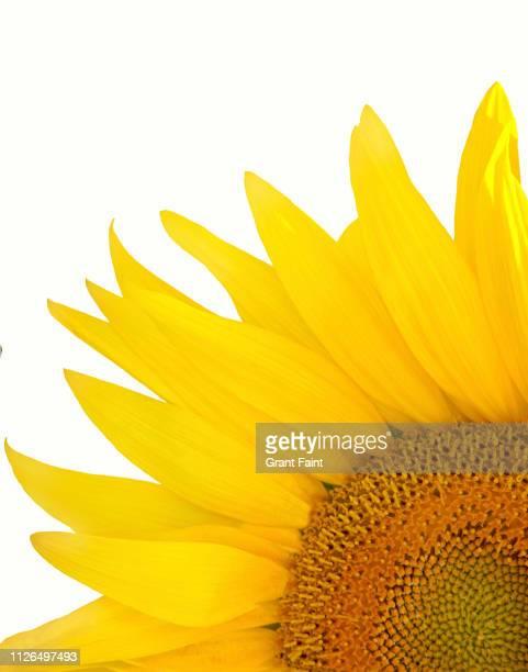Close up of sunflower.