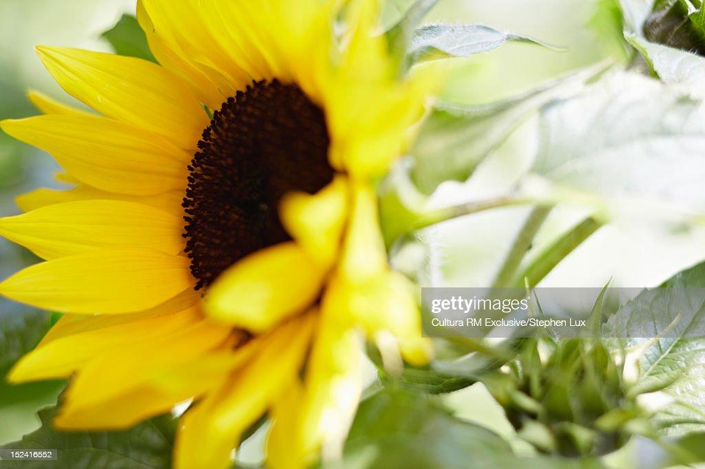 Close up of sunflower : Stock Photo