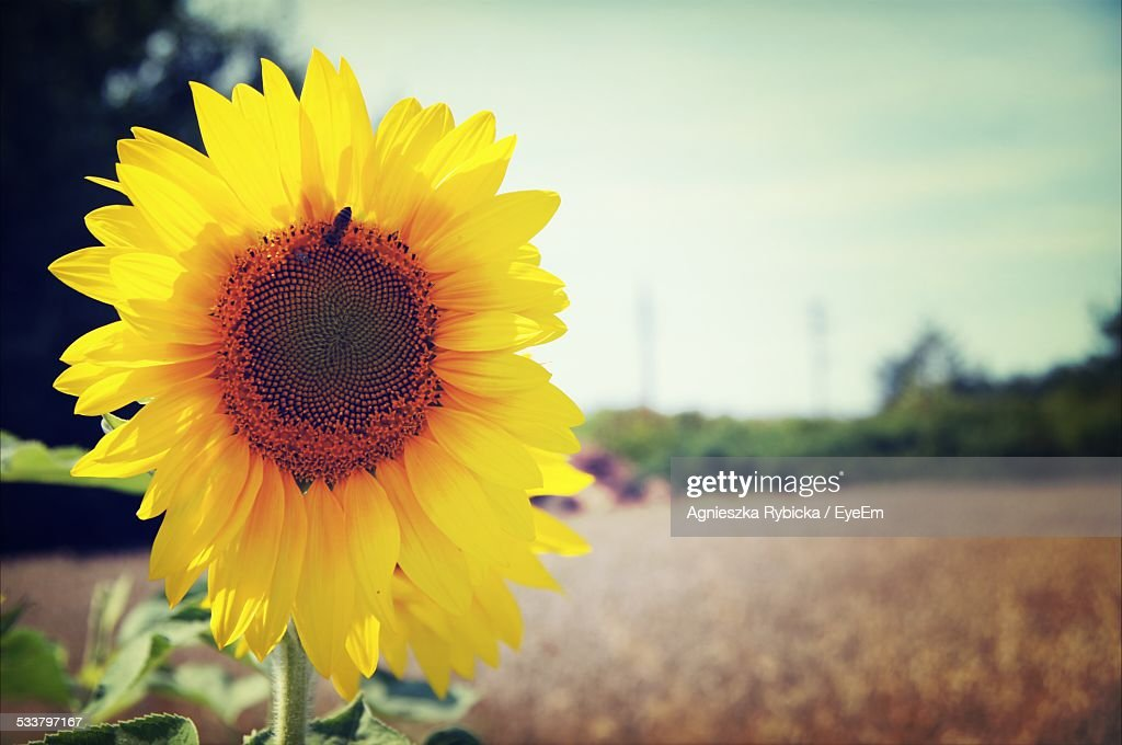 Close Up Of Sunflower : Foto stock