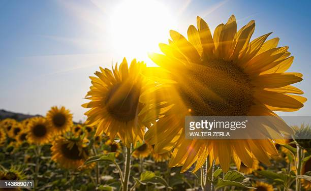 close up of sunflowers in field - girasoli foto e immagini stock