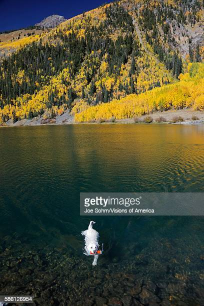 Close up of swimming dog in Pond in San Juan Mountains In Autumn Colorado between Ouray and Silverton in San Miguel County off Route 550 Million...