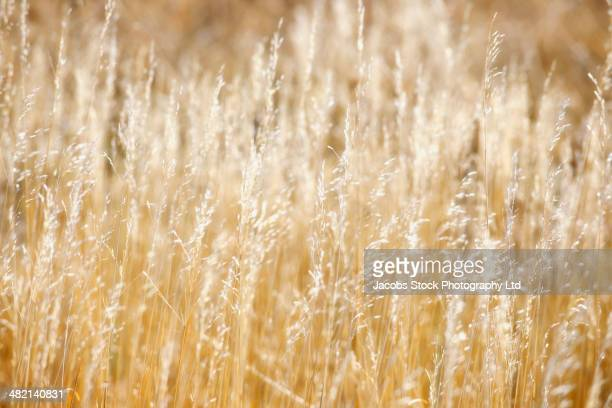 close up of tall wheat stalks in field - casper wyoming stock pictures, royalty-free photos & images