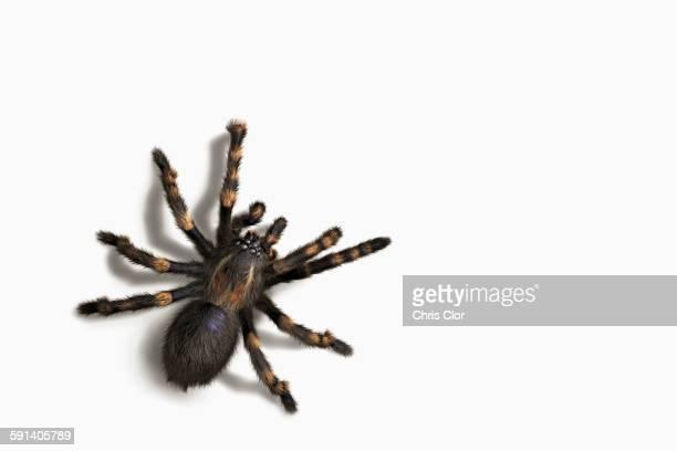 Close up of tarantula crawling