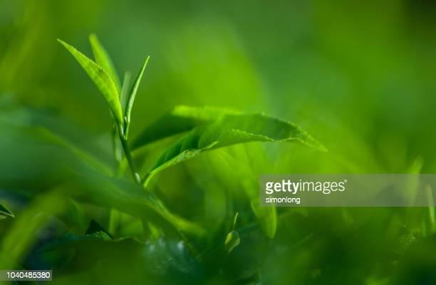 close up of tea leaves - hoja te verde fotografías e imágenes de stock