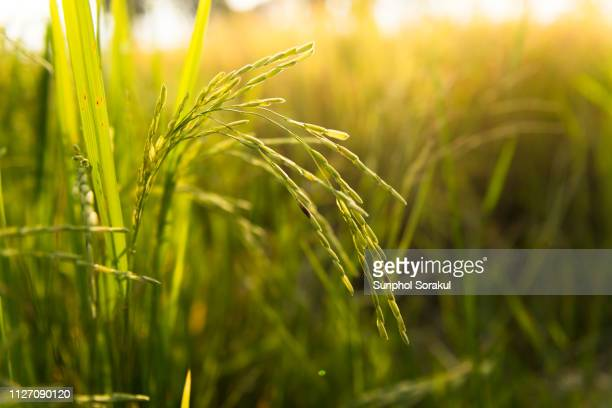 close up of the ears of rice during the morning sun - paddy field stock pictures, royalty-free photos & images
