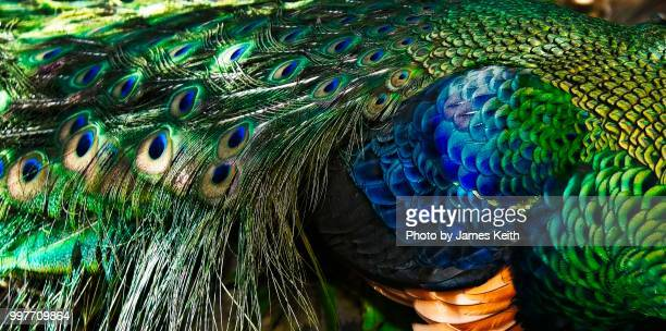 a close up of the feather coloration and patterns of the green peafowl. - pheasant tail feathers stock pictures, royalty-free photos & images