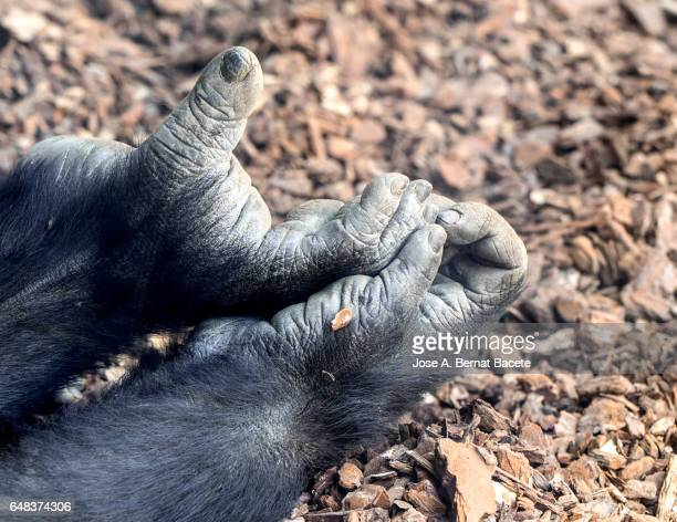 close up of  the hand and a foot of a gorilla - gorilla hand stock photos and pictures