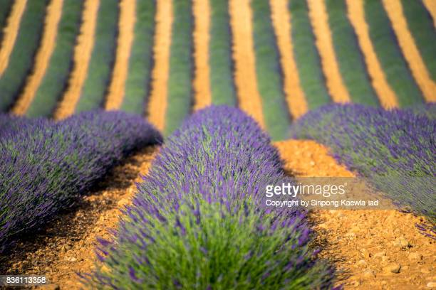 close up of the lavender field in a row in valensole, france. - copyright by siripong kaewla iad stock photos and pictures