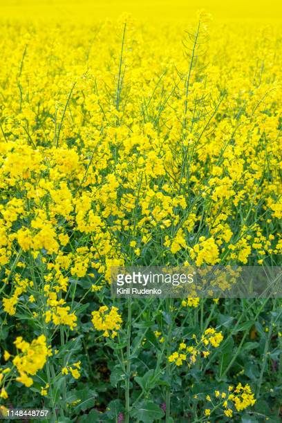 close up of the oil rapeseed in field - brassica rapa stock photos and pictures
