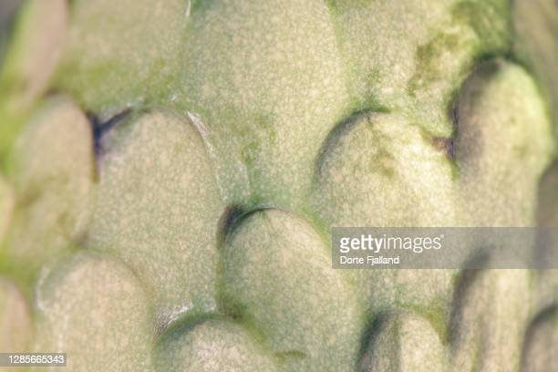 close up of the outside of a cherimoya fruit - dorte fjalland fotografías e imágenes de stock