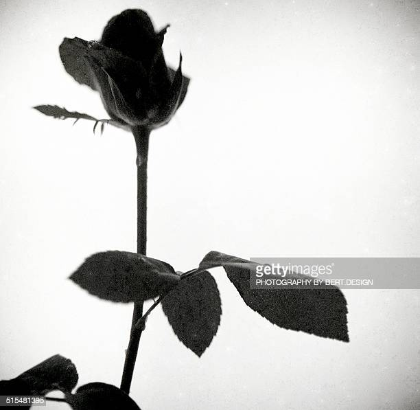 Close up of the Rose Flower BW