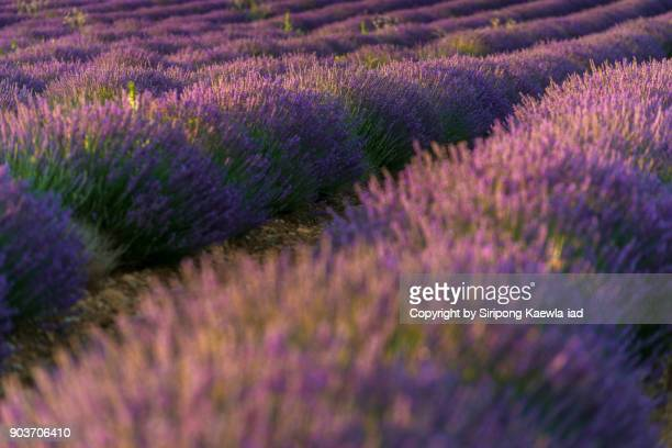 Close up of the rows of lavender during sunset in Valensole, Alpes-de-Haute-Provence, France.