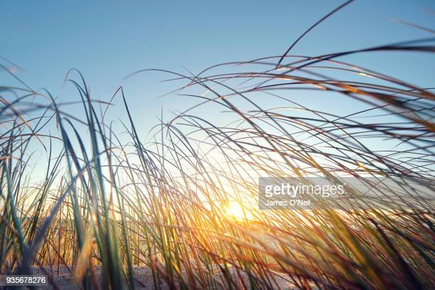 Close up of the sunrise filtering through reeds on a beach.