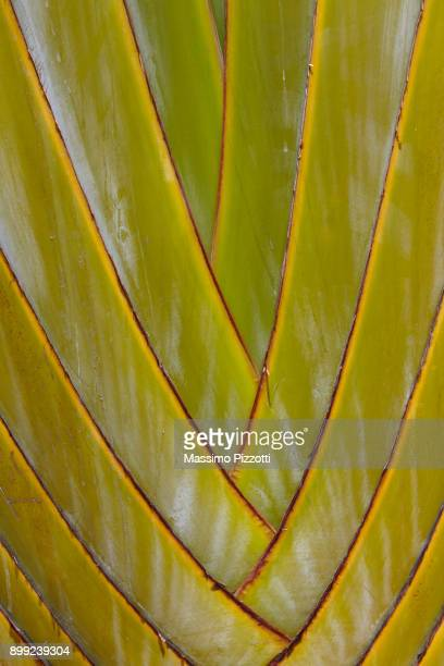 Close up of the texture of the Traveller's Palm in the Mauritius