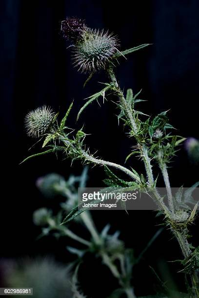 close up of thistle - thorn stock pictures, royalty-free photos & images