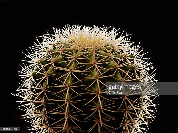 close up of thorns on cactus - thorn stock pictures, royalty-free photos & images