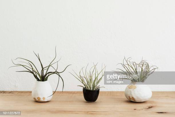 close up of three varieties of air plants in terracotta pots on a wooden shelf. - bromeliad stock photos and pictures