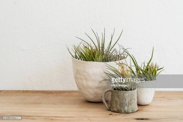 Close up of three varieties of air plants in terracotta pots on a wooden shelf.