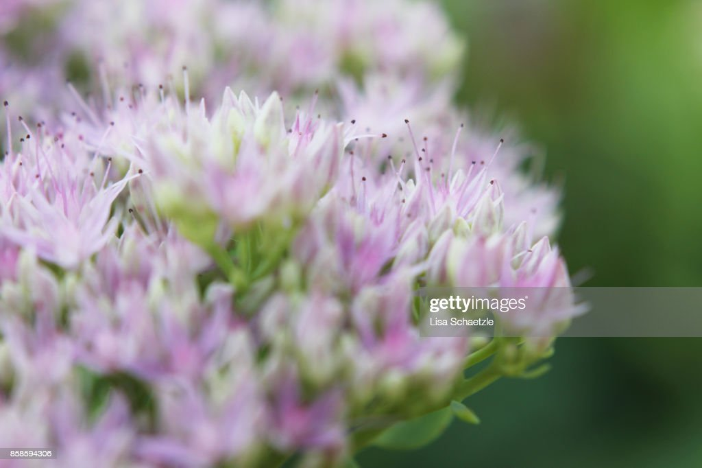 Close Up of tiny pink flowers : Stock-Foto