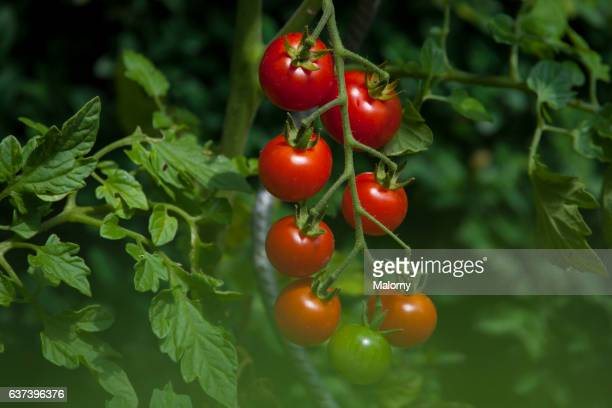 Close up of tomatoes, growing on vines. Small private greenhouse and vegetable garden.