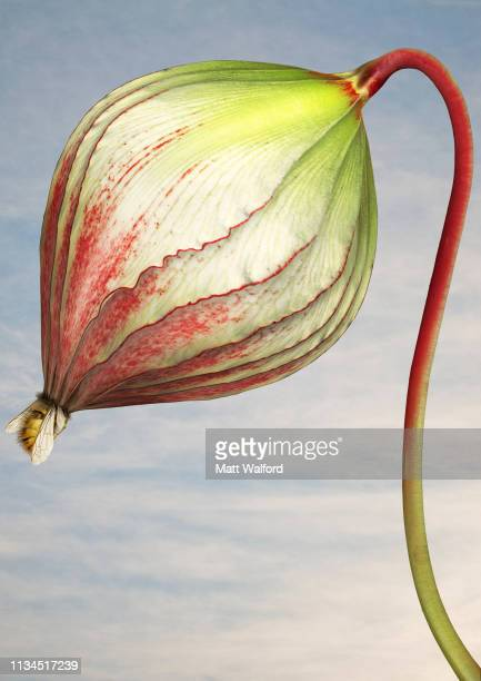 close up of triffid flower - carnivora stock photos and pictures