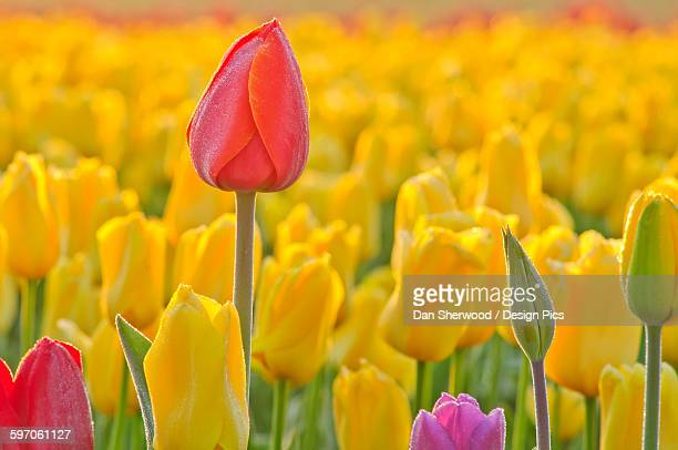 close up of tulips at wooden shoe tulip farm - dan sherwood photography stock pictures, royalty-free photos & images