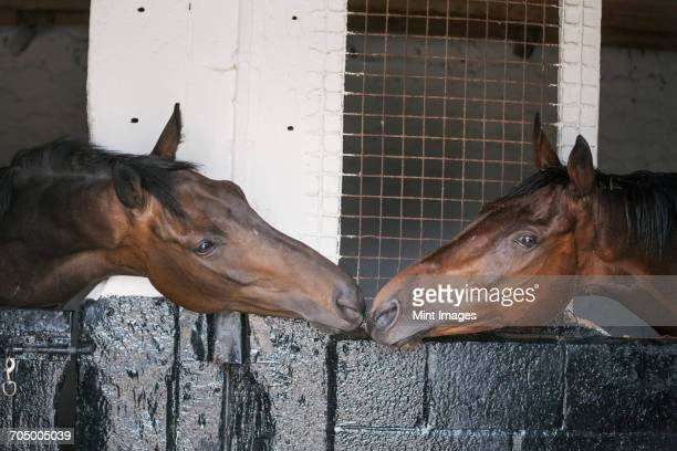 Close up of two bay thoroughbred horses in adjacent box stalls nuzzling, touching noses.