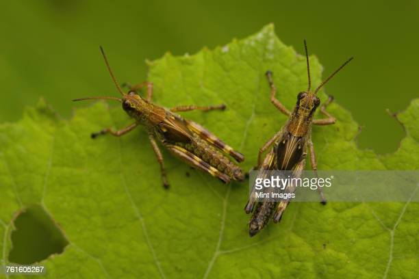 Close up of two brown crickets, insects with brown and yellow markings on a leaf.