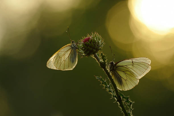 Close up of two butterflies on wildflower