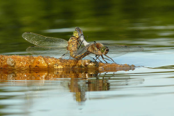 Close up of two dragonflies mating, Vestec, Czech Republic