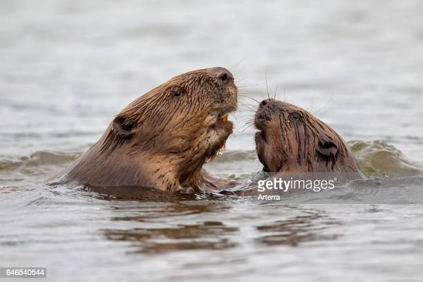 Close up of two Eurasian beavers / European beavers adult and juvenile meeting in pond