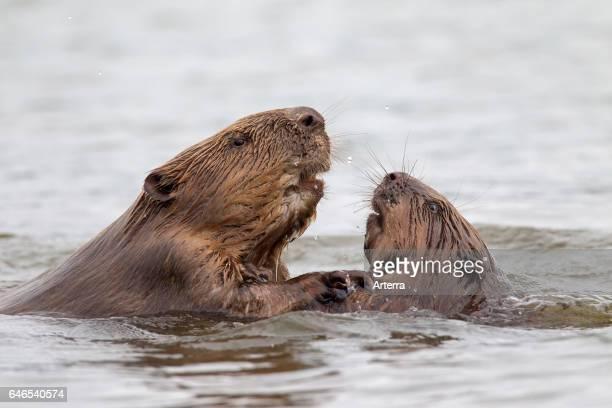 Close up of two Eurasian beavers / European beavers fighting in pond.