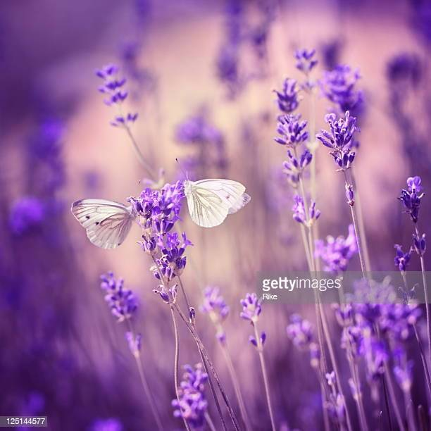Close up of two moths on a lavender flower