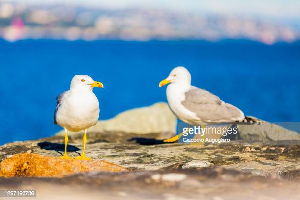 close up of two seagulls on a rock by the sea, saint tropez, provence-alpes-côte d'azur, france - 水鳥 ストックフォトと画像