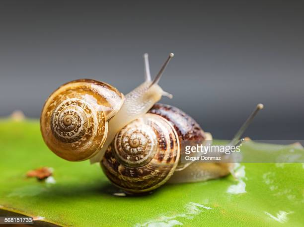 Close up of two snails matting