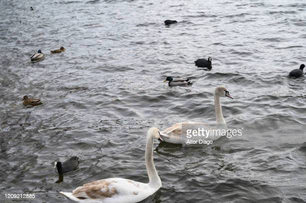close up of two swans swimming over the water of a lake on. there are some ducks as well. germany. - grace gail stock pictures, royalty-free photos & images