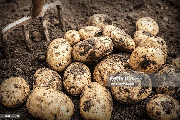 close up of unearthed potatoes in garden - potato harvest stock pictures, royalty-free photos & images