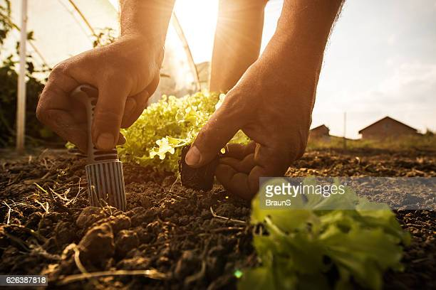 Close up of unrecognizable farmer seeding lettuce on a field.