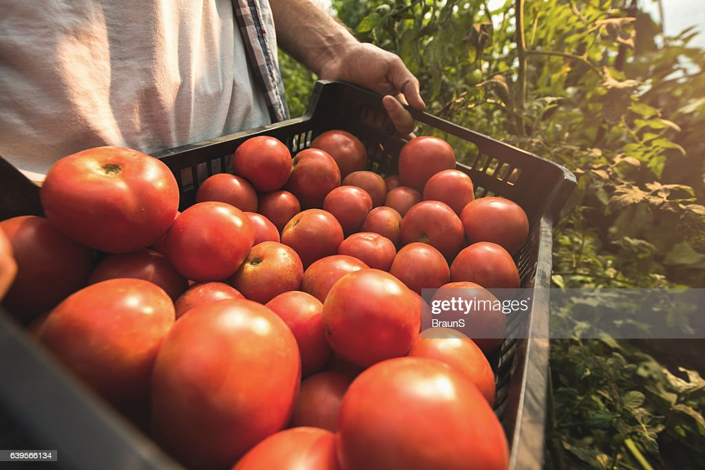 Close up of unrecognizable person holding basket of tomatoes. : Stock Photo