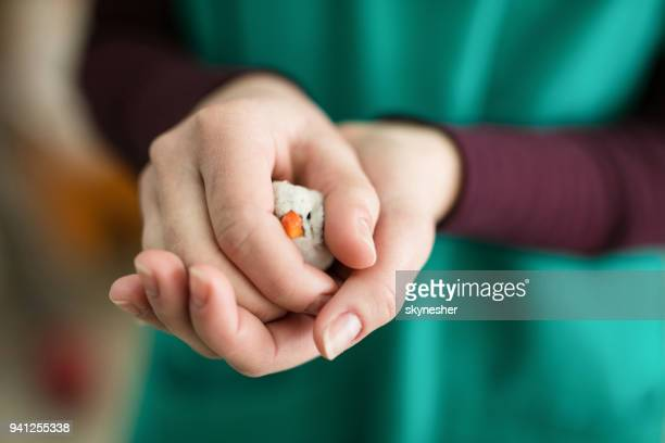 Close up of unrecognizable vet holding white Zebra finch in her hands.