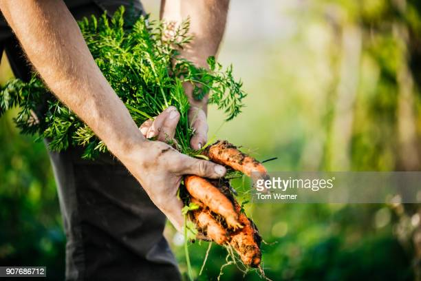 close up of urban farmer harvesting organic carrots - erdreich stock-fotos und bilder