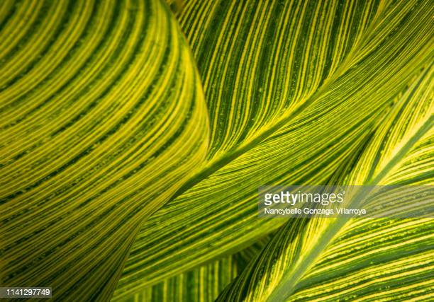 close up of variegated canna leaves - botany stock pictures, royalty-free photos & images